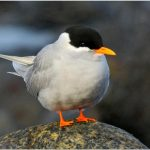 List of Most Endangered Beach Birds