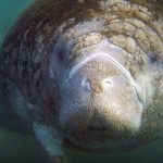 Manatee Information and Facts