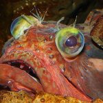 Sarcastic Fringehead: Nasty Little Bugger from the Pacific Coast