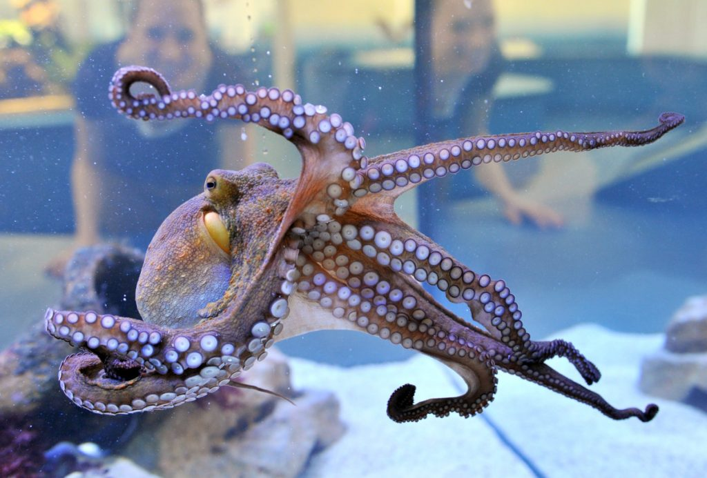 octopuses as pets perks and cons