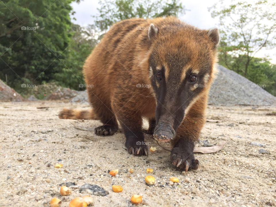 coati-eating