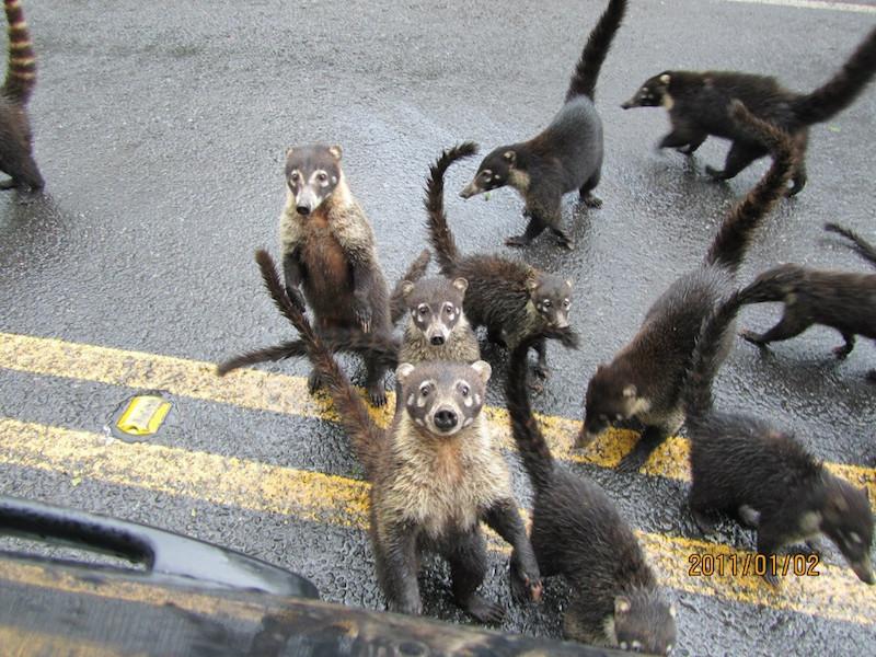 pack of coatis