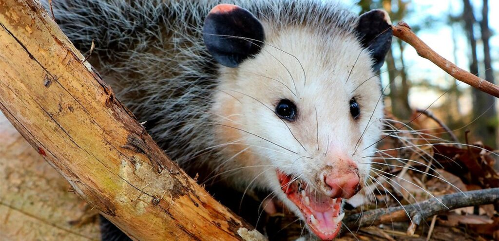 possum-opossum-fur