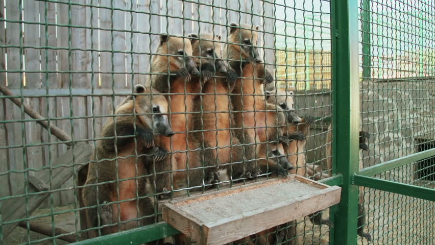 white nosed coatis in a cage