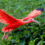 Scarlet Ibis – Analysis and Facts
